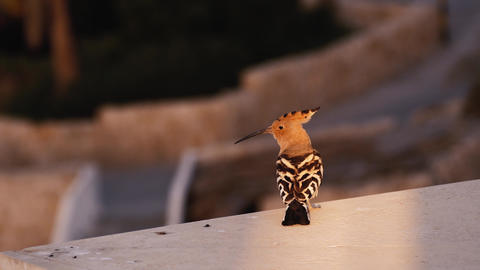 Common hoopoe sits on the parapet and flies away. Motley bird takes off and Live Action