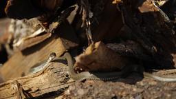 Snake in the wild, Wildlife shot, Dangerous Grass-snake on Wood Live Action