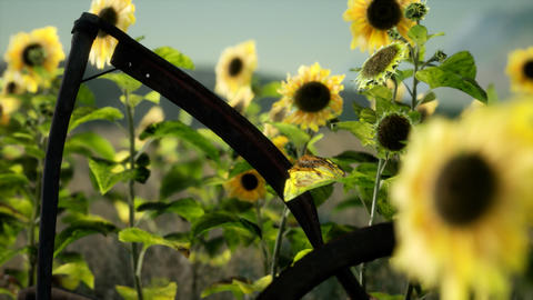 old vintage style scythe and sunflower field Live Action