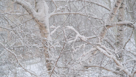 Snow falls on the branches of birch covered with snow Live Action