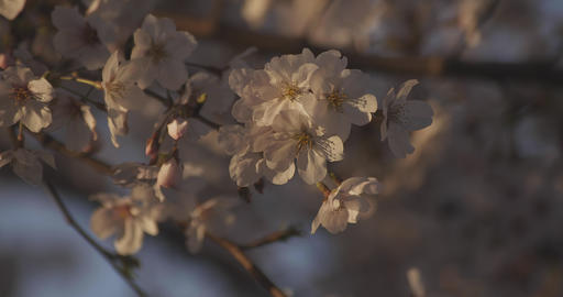 Shadow Cherry blossom in spring daytime closeup ライブ動画