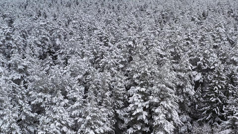 Drone view from above on spruce and pine dense winter forest. Beautiful winter Live Action