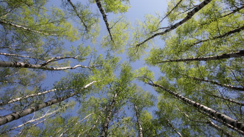 Green birchwood in a sunny day, the bottom view. The image rotates in a circle Live Action