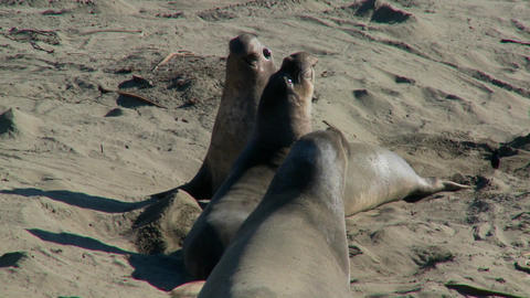 Elephant seals fight on a beach Stock Video Footage