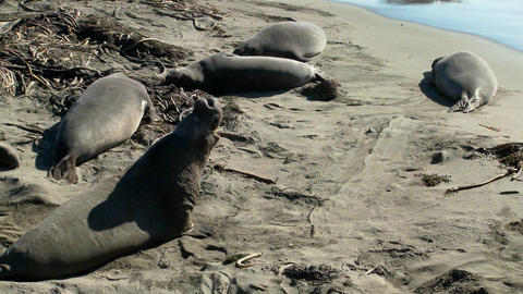 Elephant seals lie on the beach Stock Video Footage