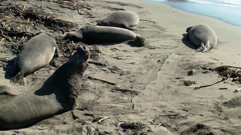 Elephant seals lie on the beach Footage