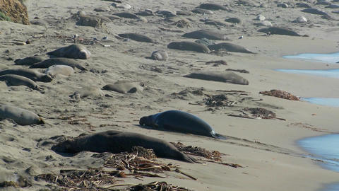 Elephant seals move up the beach Footage