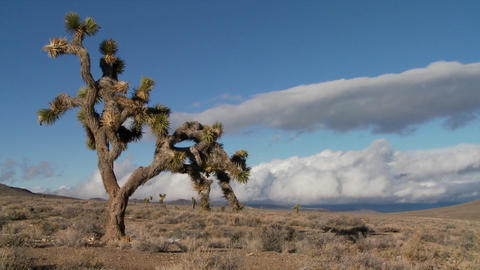 Time lapse of clouds moving behind yucca trees Stock Video Footage