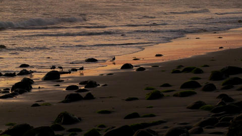 Birds graze along the shore at dusk Stock Video Footage
