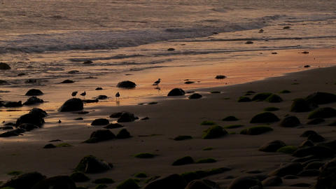 Birds graze along the shore at dusk Footage