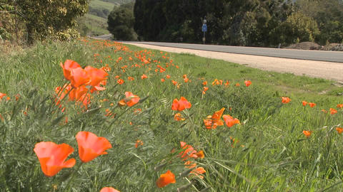 Poppies grow beside a road in Central California Stock Video Footage