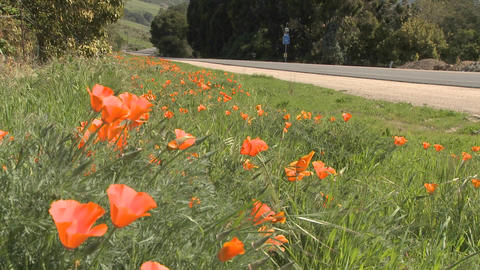 Poppies grow beside a road in Central California Footage