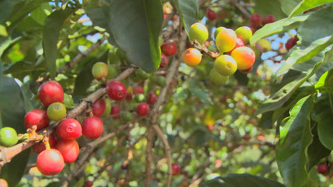 Pan across coffee beans growing on a coffee plantation in the tropics Footage