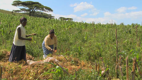 Two women work in the fields on a farm in Africa Footage