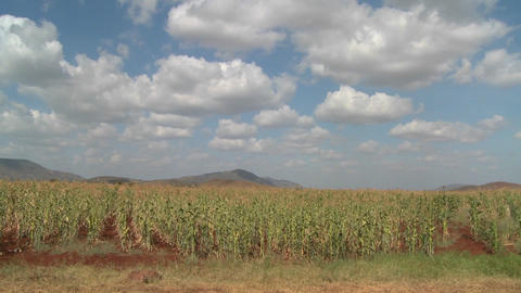 Corn grows in farm fields in Africa Footage