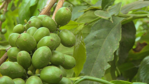 Pan across coffee beans growing on a coffee plantation in... Stock Video Footage