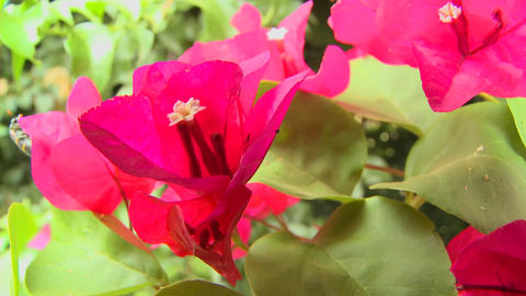 Bougainvillea flowers bloom in a tropical rainforest Footage