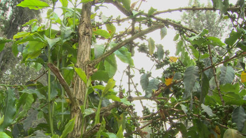 Low angle pan across coffee berries growing in a tropical... Stock Video Footage