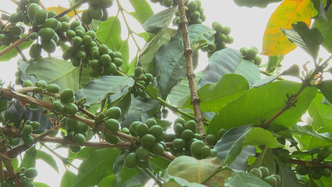 Low angle panning shot across coffee berries growing in a... Stock Video Footage