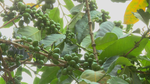 Low angle panning shot across coffee berries growing in a tropical location Footage