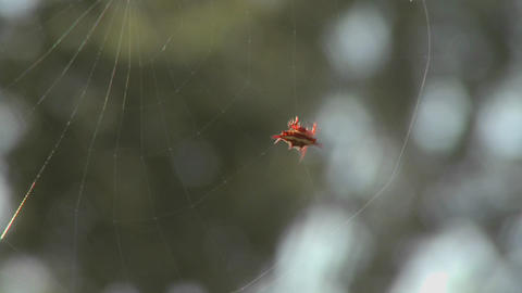 An African spider meticulously spins its web Stock Video Footage