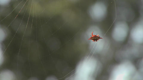 An African spider meticulously spins its web Footage