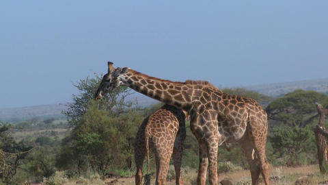 Giraffes tussle and fight in a display of mating behavior Footage