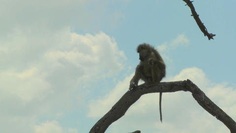 An African baboon sits in a tree and contemplates the surroundings Footage