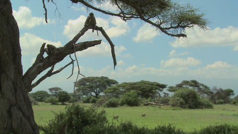African baboons sit in a tree as a family group against the magnificent backdrop of Amboseli Nationa Footage