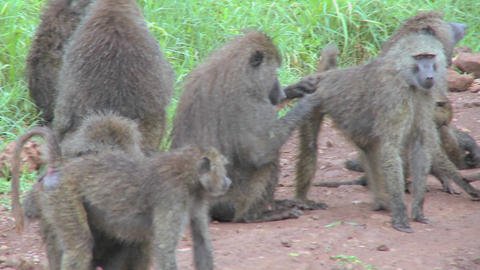 Pan across large family of baboons sitting on ground... Stock Video Footage