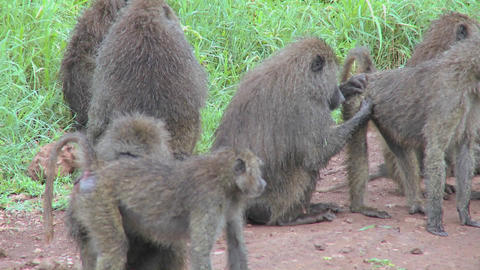 Pan across large family of baboons sitting on ground picking fleas and ticks off each other in groom Footage