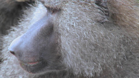 Close up of a baboon face having fleas and ticks picked off in a grooming ritual Footage