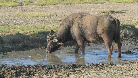 A cape buffalo grazing at a watering hole in Africa Stock Video Footage