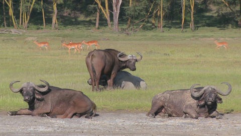 Cape buffalo relaxing on the plains of Africa Stock Video Footage