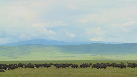 Vast herds of cape buffalo graze at Ngorongoro Crater in Tanzania, Africa Footage