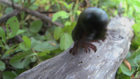 An African millipede or centipede crawls across a jungle... Stock Video Footage