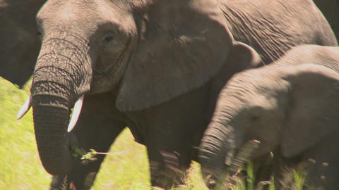 Elephants and babies walk across the African savannah Stock Video Footage