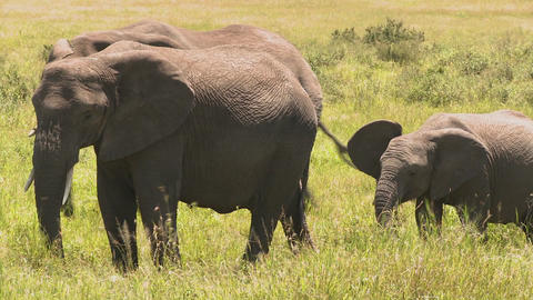 Elephants and babies walk across the African savannah Footage