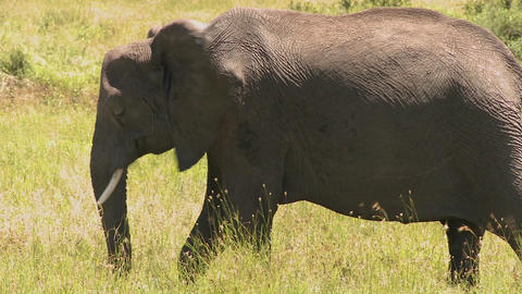 A lone elephant stands in yellow grass on the Serenegeti... Stock Video Footage