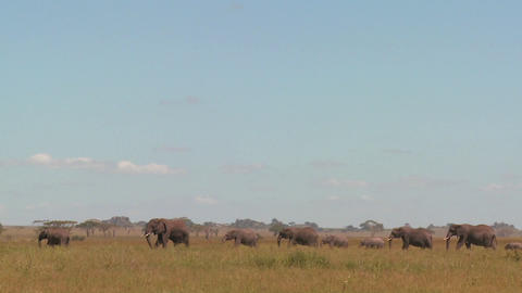 Spectacular shot of elephants migrating across the... Stock Video Footage