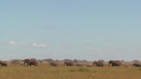 Spectacular shot of elephants migrating across the Serengeti plains Footage