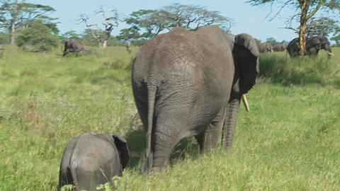 A mother elephant and her baby walk through grass on the Serengeti plains in Africa Footage