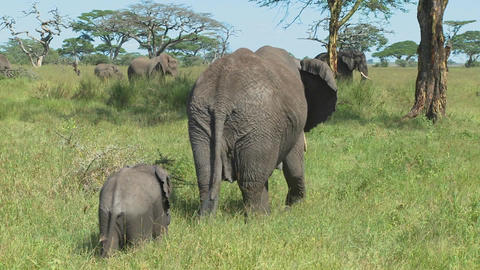 A mother elephant and her baby walk through grass on the... Stock Video Footage