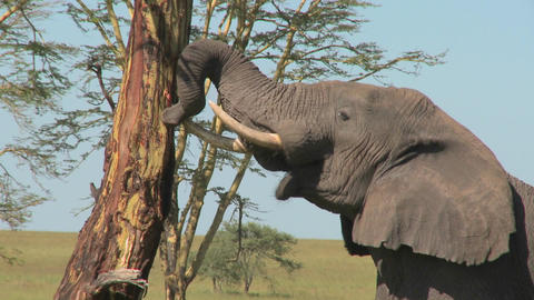 An elephant peels bark off a tree using his trunk Stock Video Footage