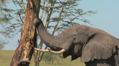 An elephant peels bark off a tree using his trunk Footage