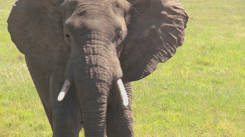 A nice looking elephant looks at the camera from a distance Stock Video Footage