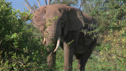 An angry African elephant acts threatening, as if to charge Stock Video Footage