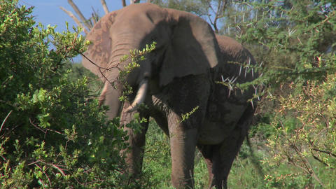 An angry African elephant acts threatening, as if to charge Footage