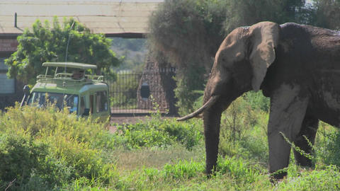 A massive African elephant poses at the entrance gate to... Stock Video Footage