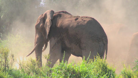 A giant African elephant gives himself a dustbath in this... Stock Video Footage